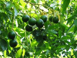 In the shade of the avocado tree