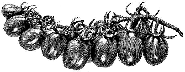 love-apples
